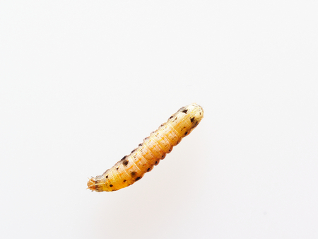 Brown and black worm or caterpillar isolated on white background