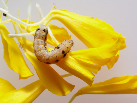 Brown and black worm or caterpillar eating petals of yellow marigold flower in background Stock Photo
