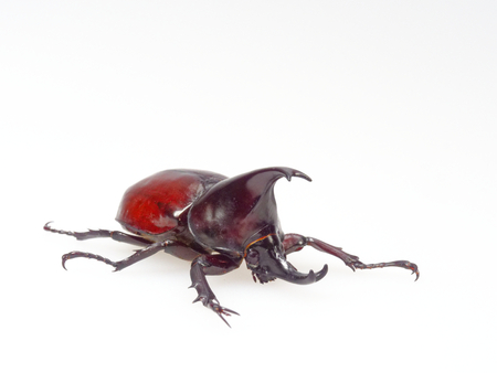 Fighting or rhinoceros beetle isolated on white background