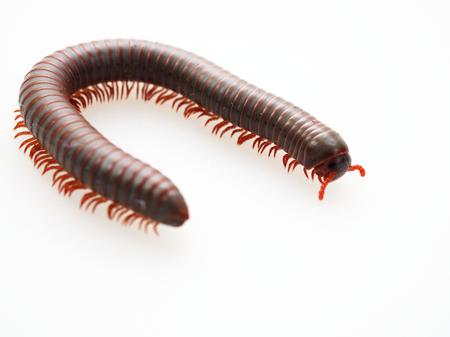 Duizendpoten, insecten met een lang lichaam en veel poten zien eruit als duizendpoten, worm of trein