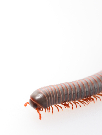 Millipedes, insect with long body and many legs look like centipedes, worm, or train