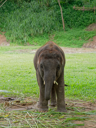 Baby male Indian elephant eating grass while breaking between the show in elephant camp in northern part of Thailand