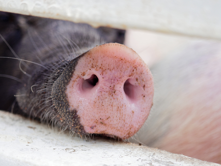 Snout or nose of a pig sticking through a fence smelling and sniffing for food with concepts of doubt, suspicious, and investigated