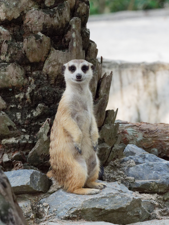 Meerkats standing on guard watching for danger to prepare to protect itself in a zoo with selective focus
