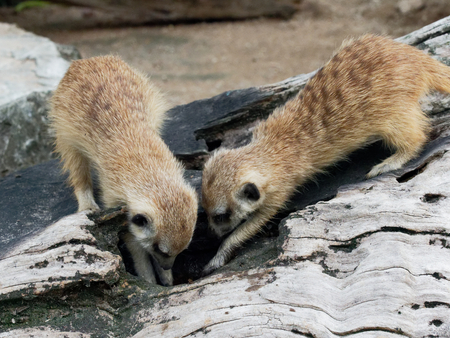 Meerkats digging hole or burrow of wooden log to find some food in a zoo with concept of curiosity, inquisitiveness, and finding Stock Photo