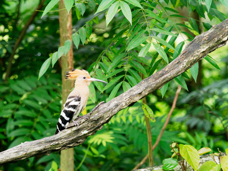 Hoopoe bird with crown feathers or crest perching or sitting on a tree branch on a blurred green background