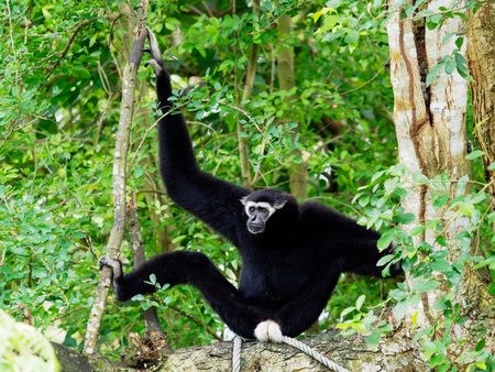 Black Gibbon with white face and eyebrow resting on a tree over nature background