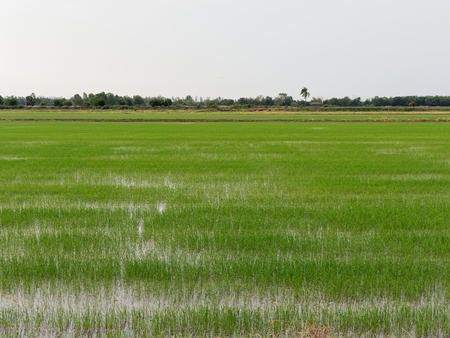 Young green paddy rice field in Ayutthaya province, central part of Thailand, with sky background Stock Photo