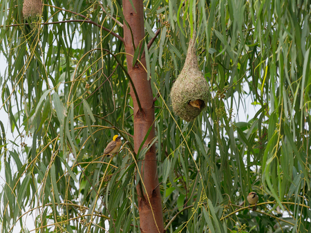 Weaver bird standing or perching on tree branch with its family and nest made by dry grass or straw on tree over nature background Stock Photo