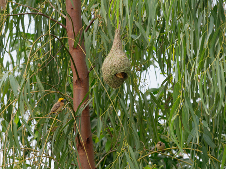 Weaver bird hatching inside its nest made by dry grass or straw with its family over nature background Stock Photo