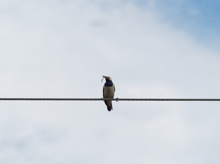 Common myna bird standing or perching on wire rope or cable sling with dry grass or straw in the mouth over blue sky background