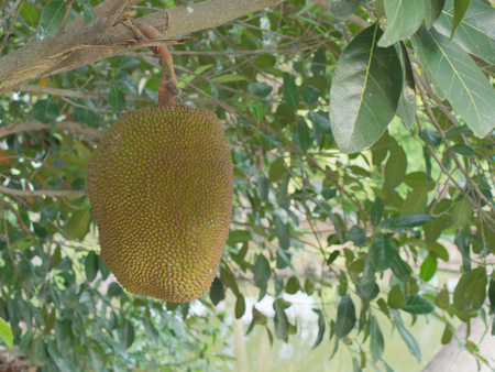 Yellow and green ripe jackfruit on the tree in the farm over blurred nature background