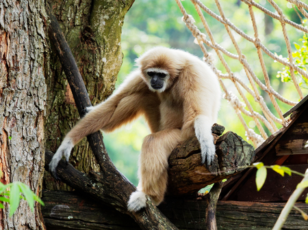 Yellow gibbon with black face and white fur at eyebrow, cheek, hands, and feet resting on a log with blurred background
