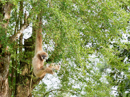 Yellow gibbon with black face and white fur at eyebrow, cheek, hands, and feet hanging on tree branch with blurred background