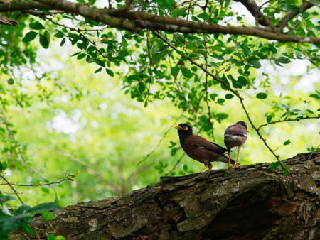 Common myna bird standing or perching with its family on a big tree branch over nature background Stock Photo