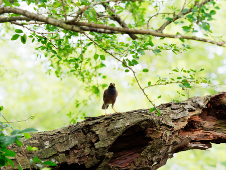 Common myna bird standing or perching on a big tree branch over nature background