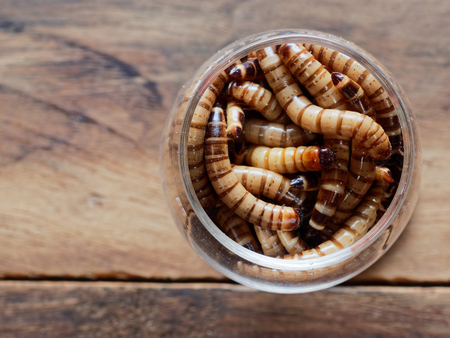 A group of super or giant worms crawl inside small brandy glass over dark wooden surface used as background in exotic pet food, insect, Halloween, celebration, decoration, scary, and haunting concepts Archivio Fotografico