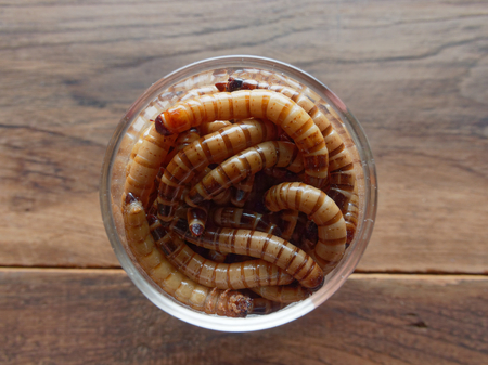 A group of super or giant worms crawl inside small brandy glass over dark wooden surface used as background in exotic pet food, insect, Halloween, celebration, decoration, scary, and haunting concepts Stock Photo