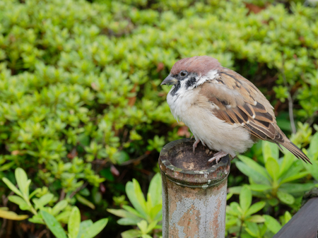 A fat brown and white tree sparrow bird sitting on a wooden pole of the fence over green bush background in a Japanese temple with concepts of resolute, lonesome, lonely, and relaxing Stock Photo