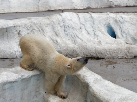 Young white polar bear climbing on artificial ice rock with head facing up with concepts of power, strength, acclaim and explode an anger