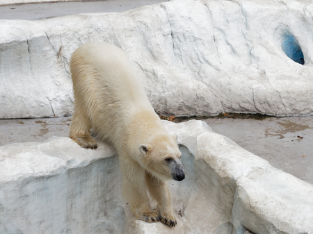 Young white polar bear climbing on artificial ice rock with head facing down with concepts of power, strength, acclaim and explode an anger
