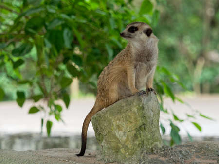 Meerkats sitting on guard watching for danger to prepare to protect itself on the rock Archivio Fotografico