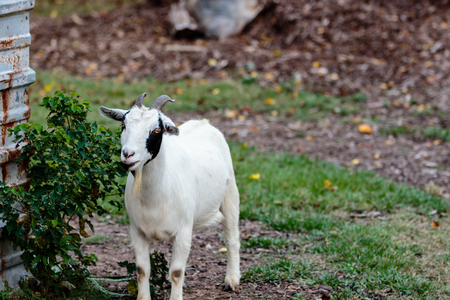 baby goat: Small goat eating a bush in the grass.