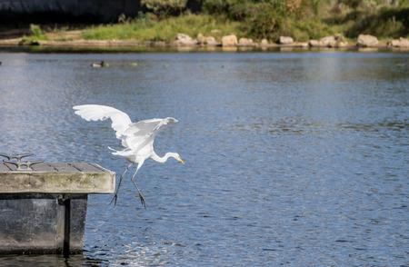 california delta: Great Egret Diving for a fish.