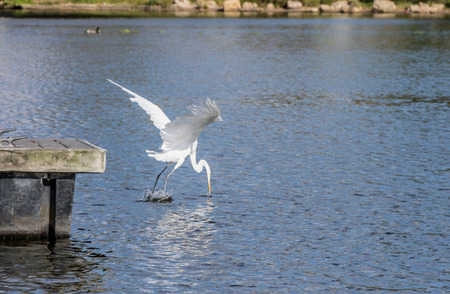 Great Egret Diving for a fish.