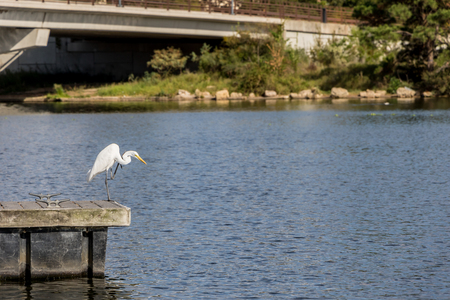 Great Egret hunting from a pier. 스톡 콘텐츠
