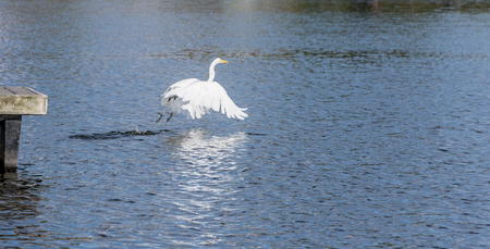 california delta: Great Egret fly away with a fish after hunting.