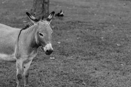 jack ass: Donkey portrait in black and white. Stock Photo