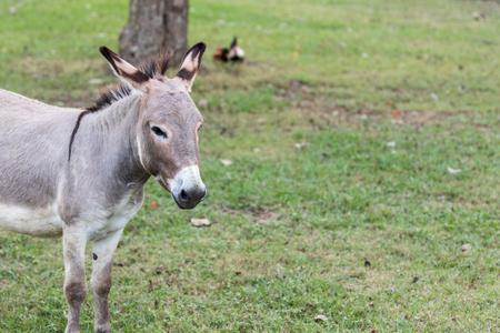 jack ass: Donkey Portrait low contrast. Stock Photo