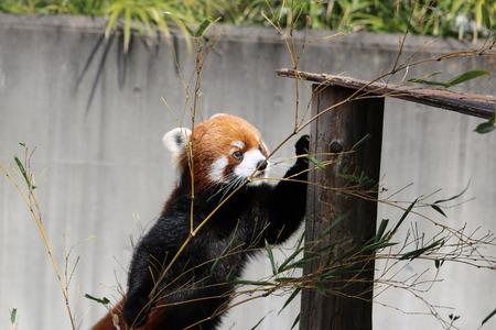 lesser: lesser panda