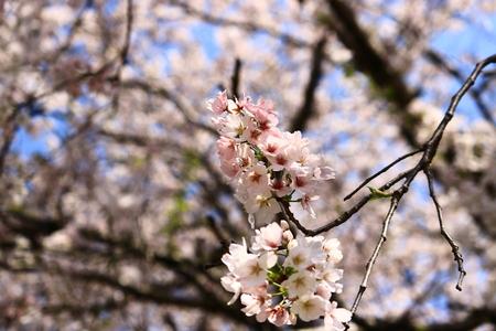 in full bloom: cherry blossom
