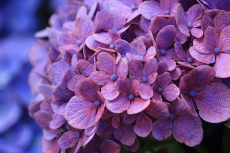 hydrangea close up Stock Photo