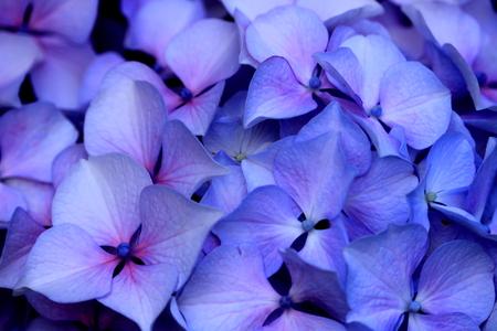 hydrangea close up 写真素材