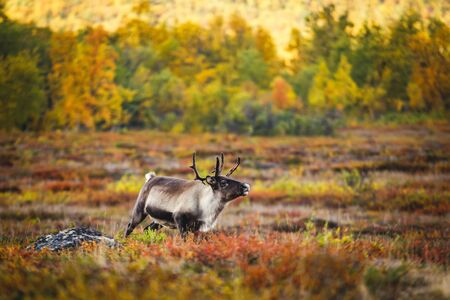 Group herd of deer caribou reindeers pasturing in Abisko National Park, Sweden, Lapland, Norrboten County