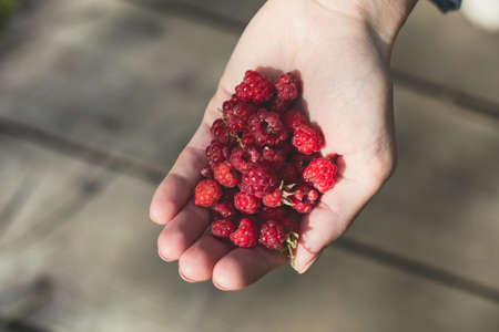 Process of collecting and picking berries in the forest of northern Sweden, Lapland, Norrbotten, near Norway border, girl picking raspberry, cranberry, cloudberry, blueberry, raspberries and others