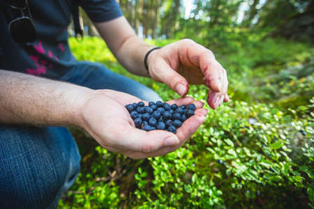 Process of collecting and picking berries in the forest of northern Sweden, Lapland, Norrbotten, near Norway border, girl picking cranberry, lingonberry, cloudberry, blueberry, bilberry