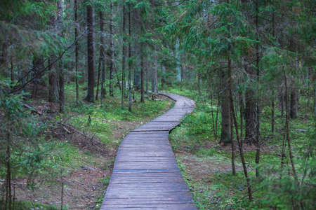 Eco path wooden walkway in Komarovo Shore, Komarovsky Bereg Natural Monument ecological trail path - route walkways laid in a forest, in Kurortny District of St. Petersburg, Russia