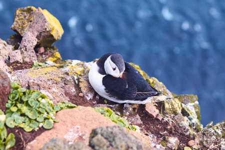 Atlantic Puffin bird, beautiful vibrant close-up portrait, Horned Puffin also known as Fratercula, nesting on a cliff of Latrabjarg Cape, Vestfirdir, Iceland, summer day