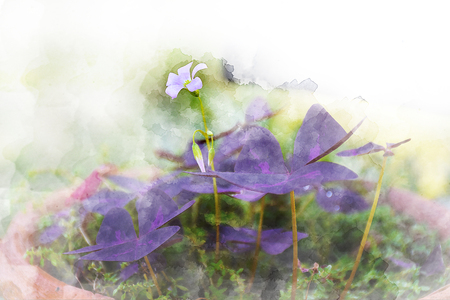 Water color of Oxalis triangularis , False Shamrock plant, Purple Leaf Plant