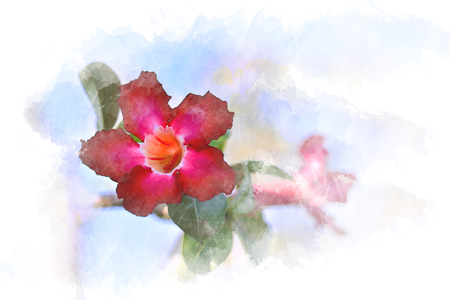 Watercolor of Pink plumeria flower with white soft background. Illustration 版權商用圖片