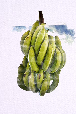 Watercolor of Green Cavendish Banana on white paper 100 Lb. Illustration