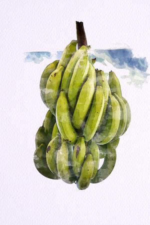 Watercolor of Green Cavendish Banana on white paper 100 Lb. Illustration