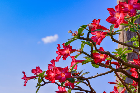 Pink plumeria flower with blue sky, Looks so refreshing.