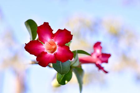 Pink plumeria flower. Looks so refreshing. 版權商用圖片