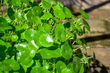 Water Pennywort is fresh green leaves 版權商用圖片