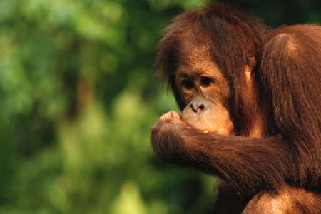 Young orangutan in thinker pose photo